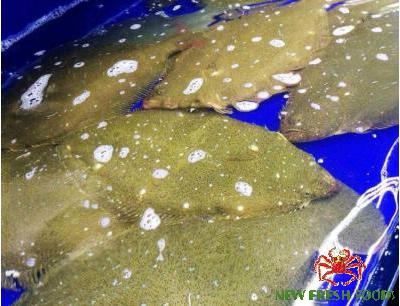 Cá Bơn Hàn Quốc Sống